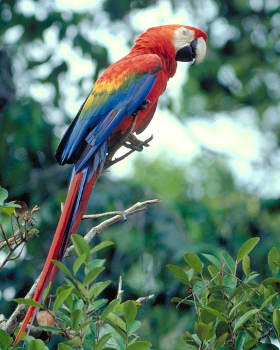 Scarlet Macaw Photo by Peter Boesman