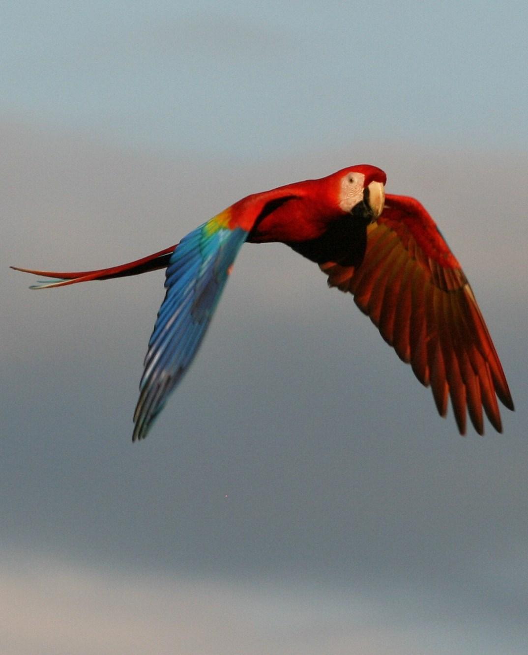 Scarlet Macaw Photo by Oscar Johnson