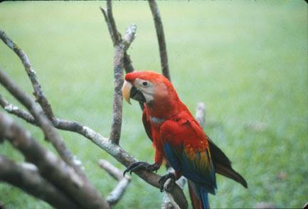 Scarlet Macaw Photo by Dan Tallman