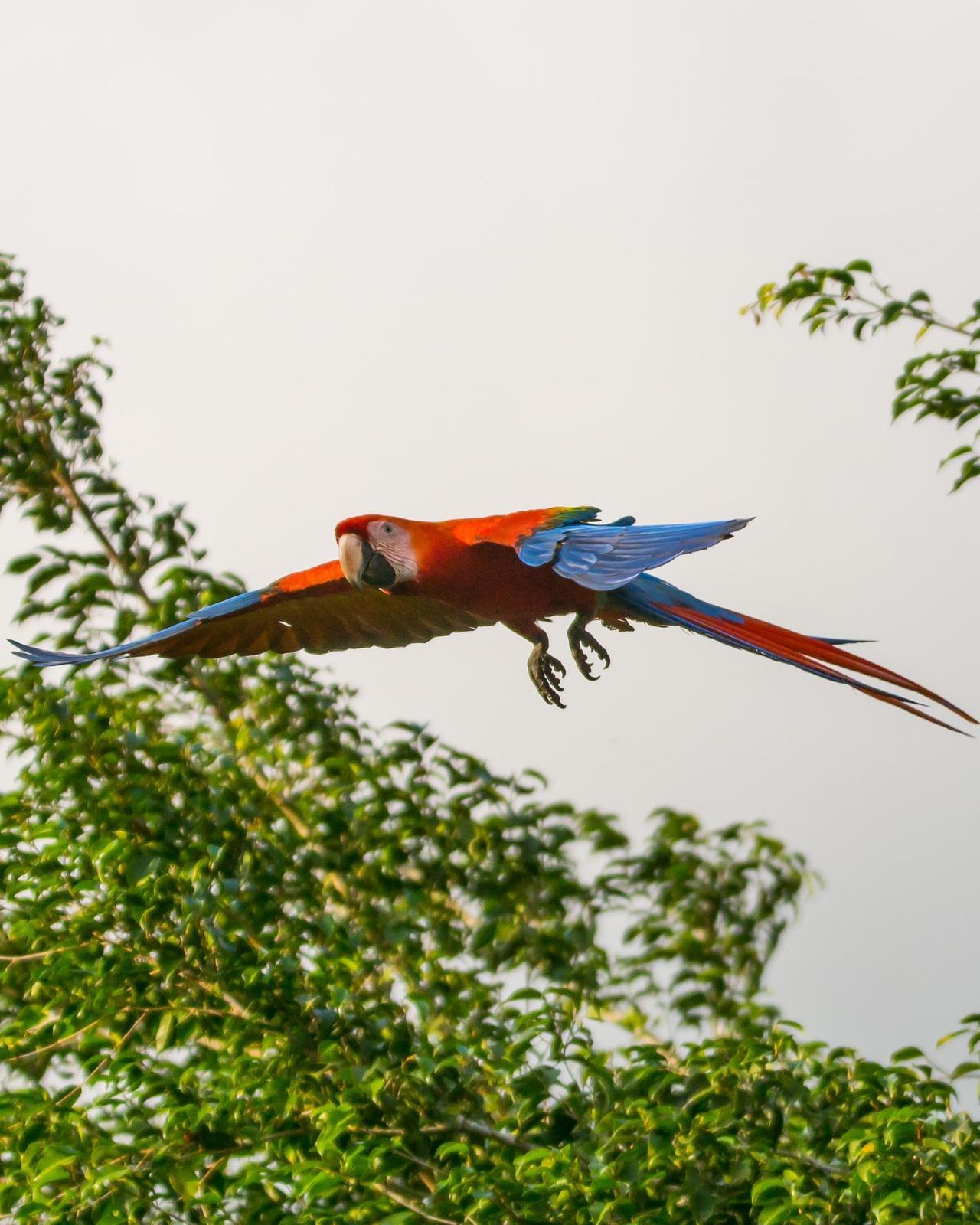 Scarlet Macaw Photo by Gerald Hoekstra