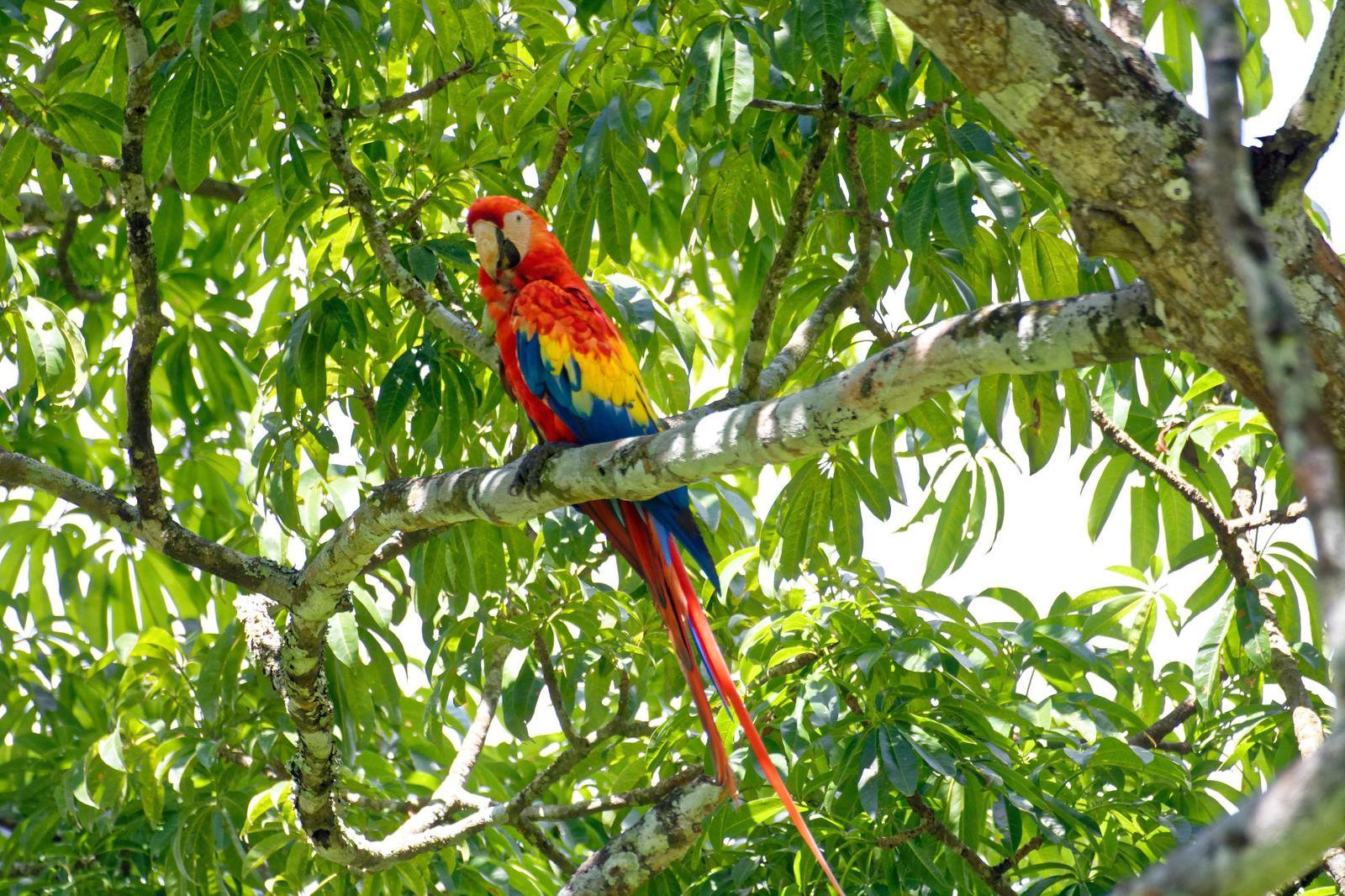 Scarlet Macaw Photo by Gustavo Fernandez