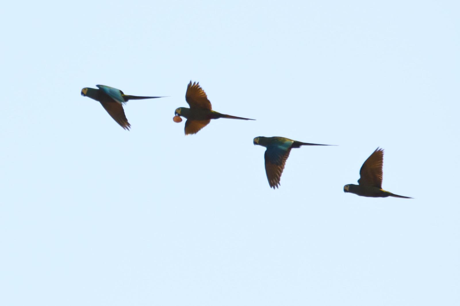 Red-bellied Macaw Photo by Zé Edu Camargo