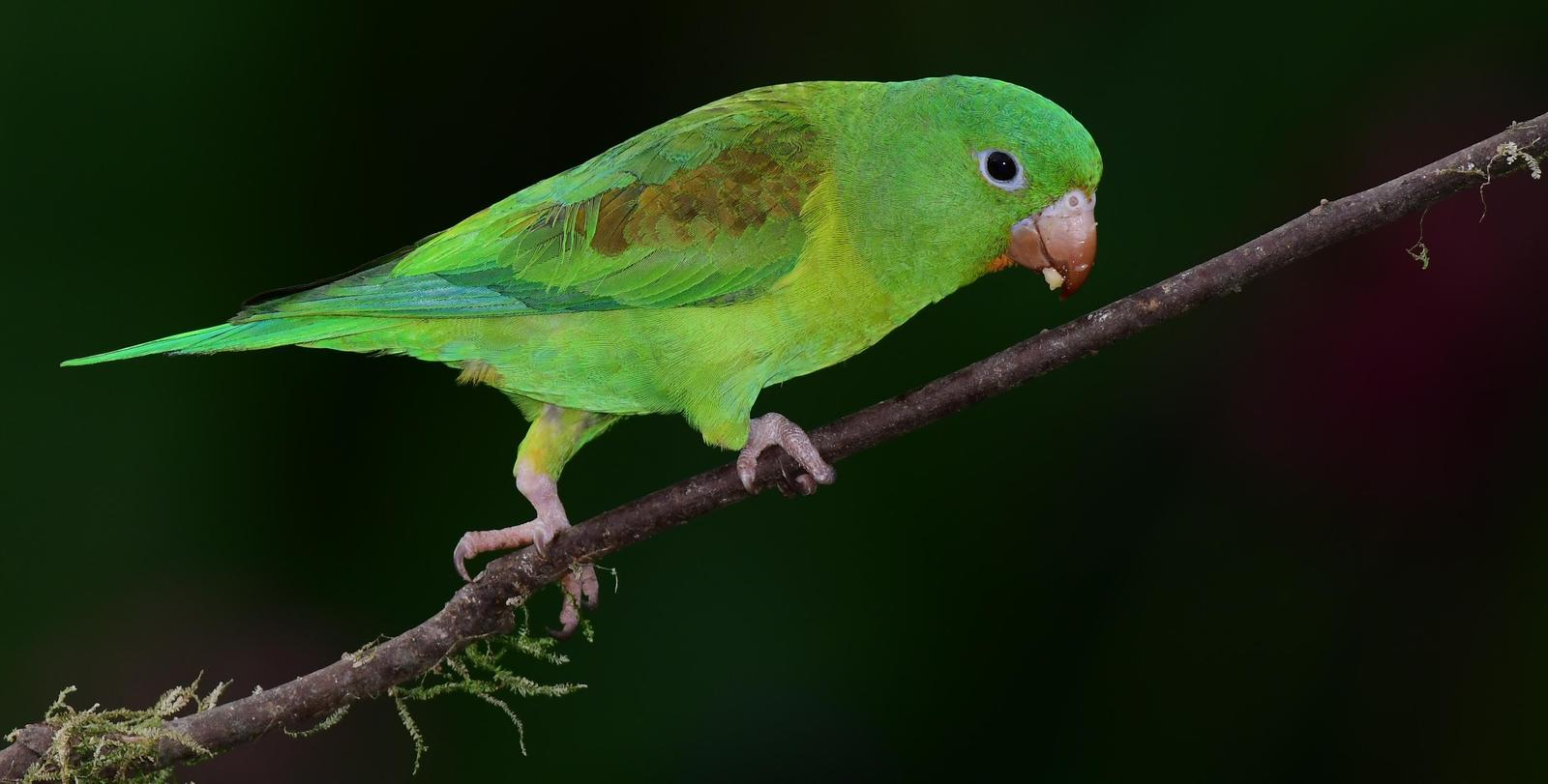 Orange-chinned Parakeet Photo by Gareth Rasberry