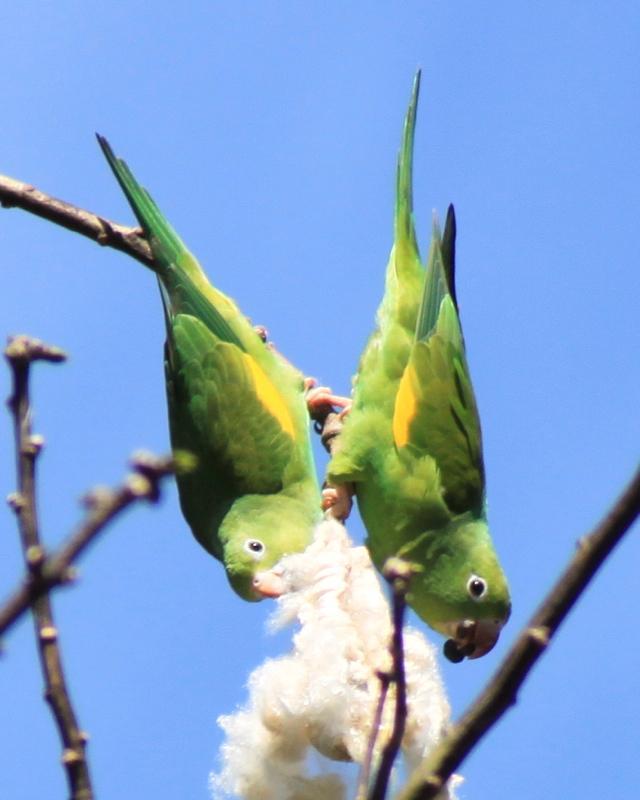 Yellow-chevroned Parakeet Photo by Alyssa Crittenden