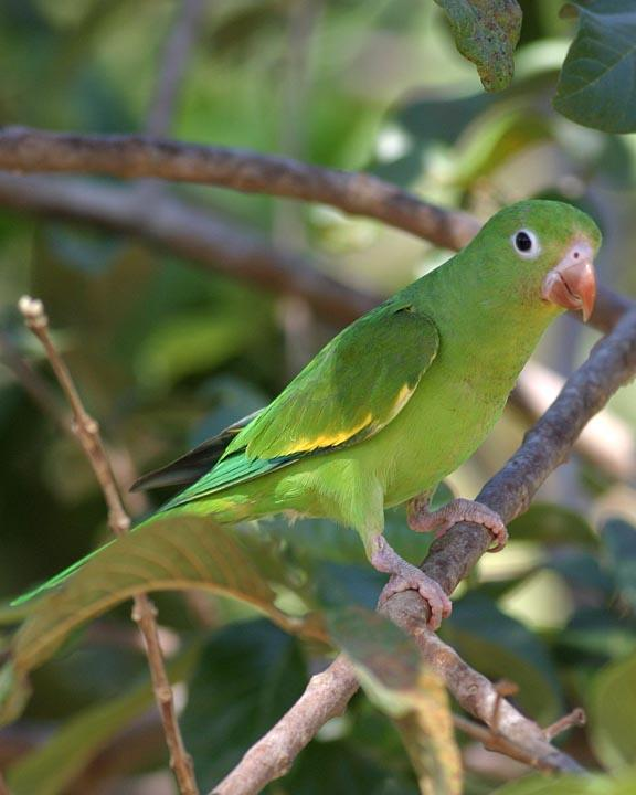 Yellow-chevroned Parakeet Photo by Peter Boesman