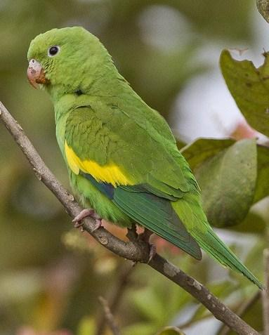 Yellow-chevroned Parakeet Photo by John Oates
