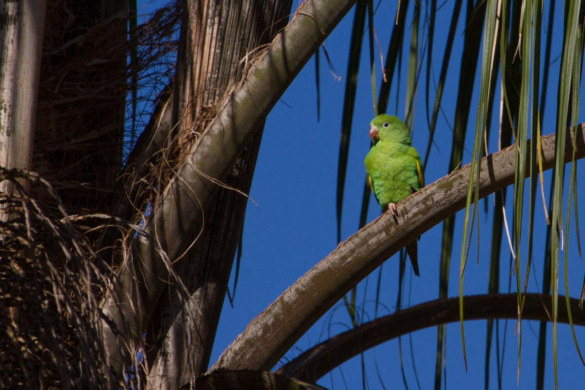 Yellow-chevroned Parakeet Photo by Zé Edu Camargo