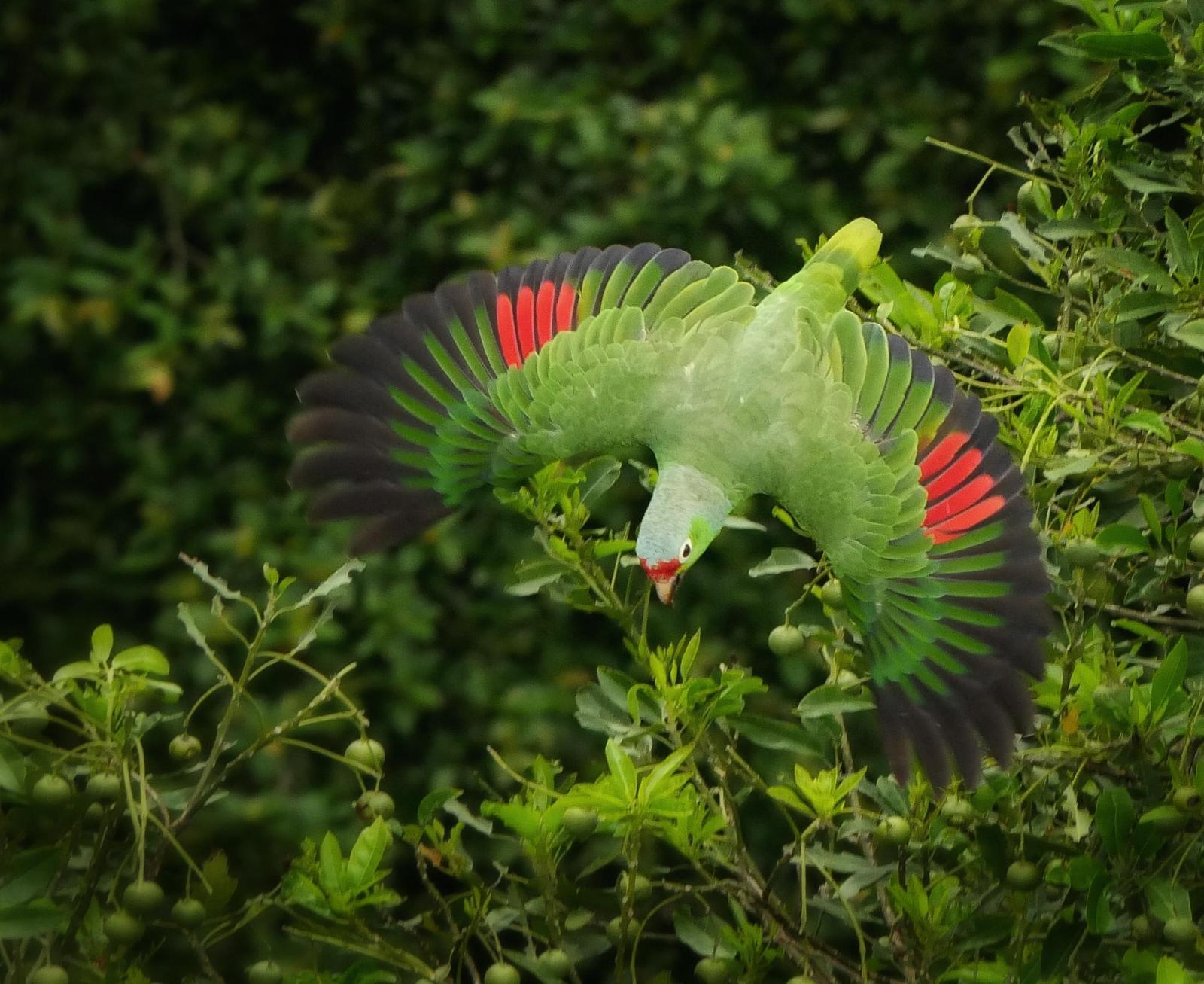 Red-lored Parrot Photo by Valerie Gebert