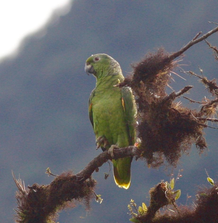 Scaly-naped Parrot Photo by Andre  Moncrieff