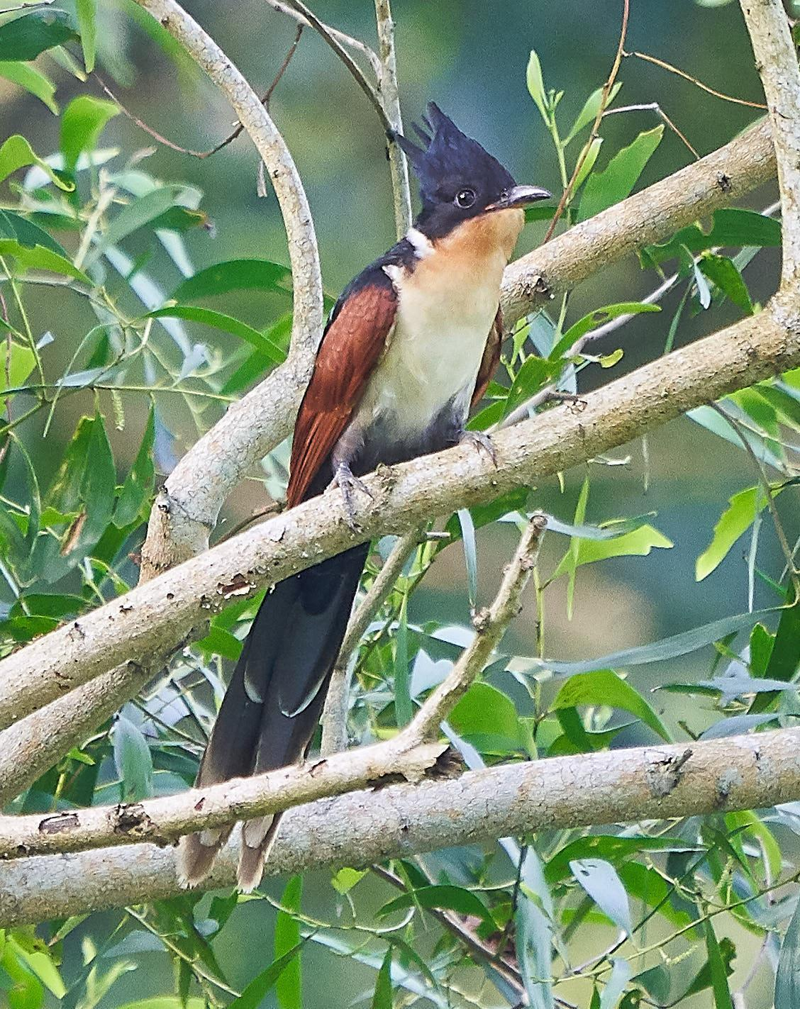 Chestnut-winged Cuckoo Photo by Steven Cheong