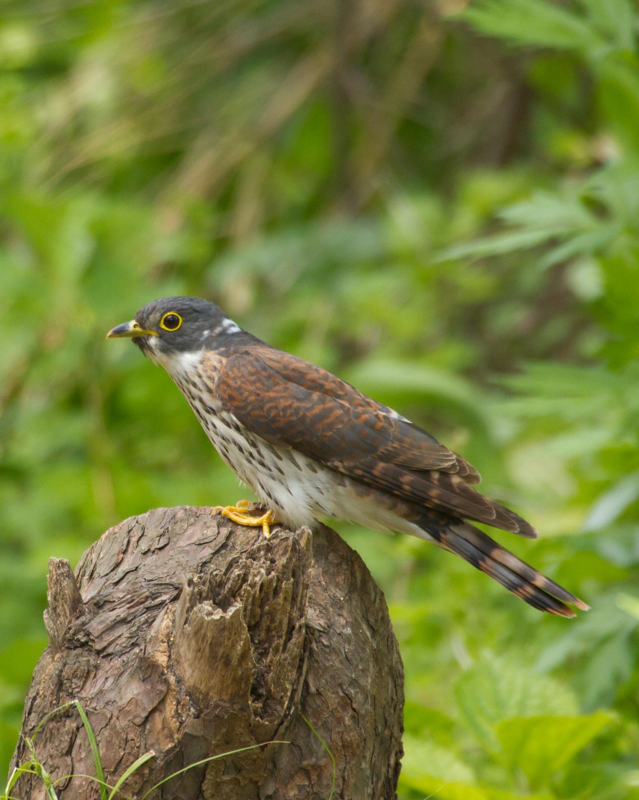 Hodgson's Hawk-Cuckoo Photo by Kasia  Ganderska Someya