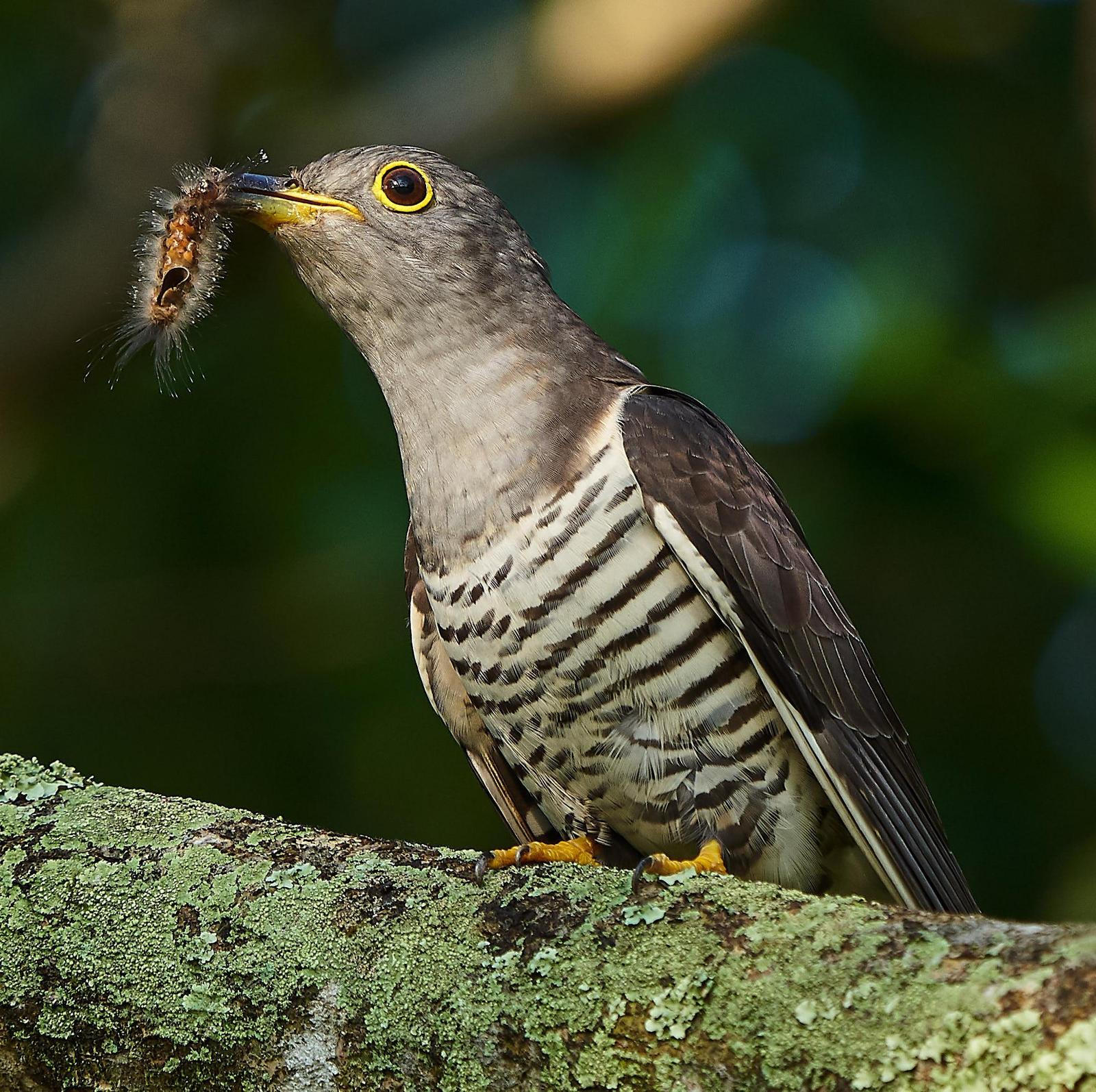 Indian Cuckoo Photo by Steven Cheong