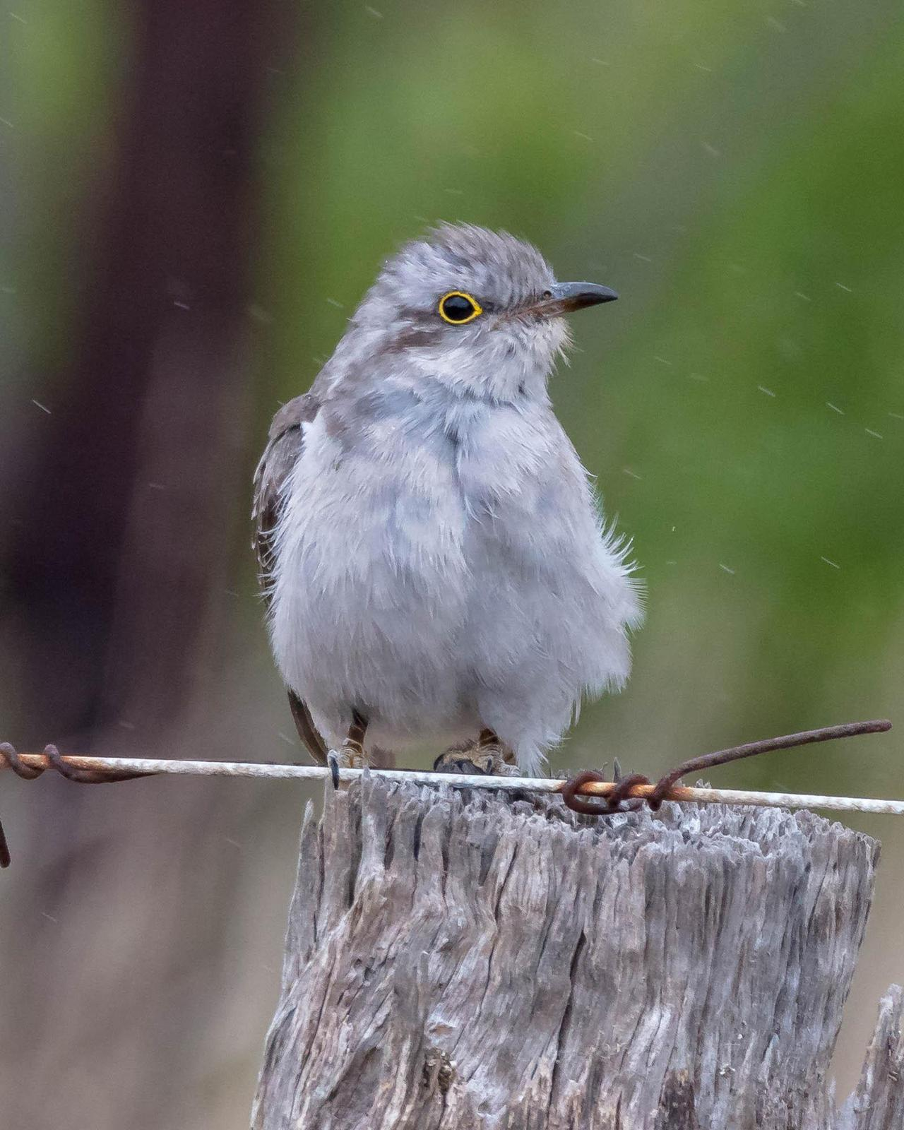 Pallid Cuckoo Photo by Denis Rivard