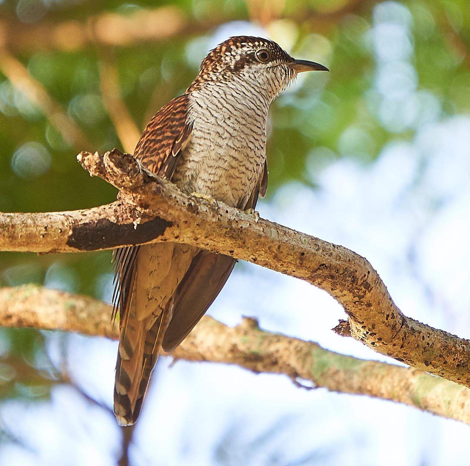 Banded Bay Cuckoo Photo by Steven Cheong
