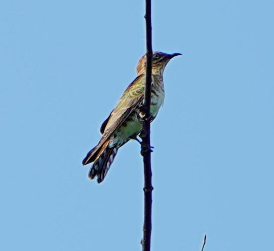 Horsfield's Bronze-Cuckoo Photo by Steven Cheong