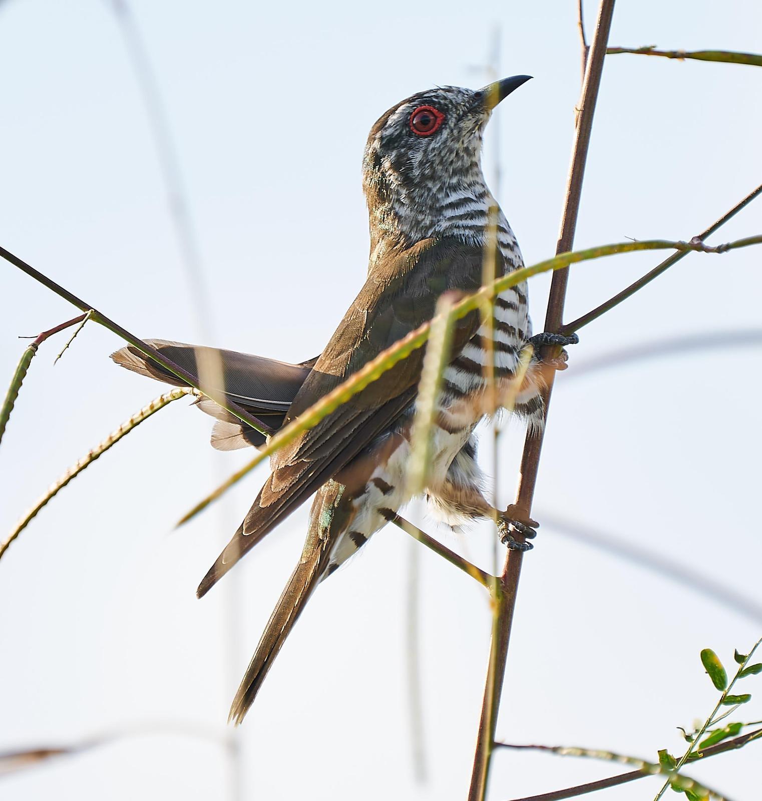Little Bronze-Cuckoo Photo by Steven Cheong