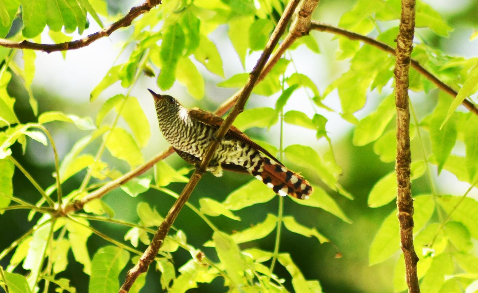 Violet Cuckoo Photo by Uthai Cheummarung