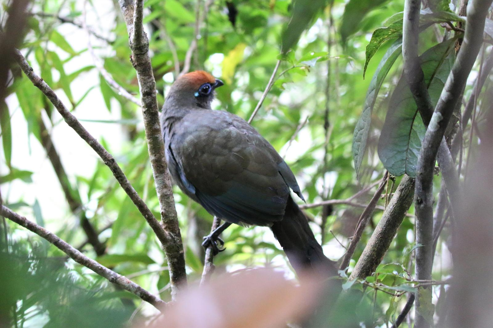 Red-fronted Coua Photo by Richard Jeffers