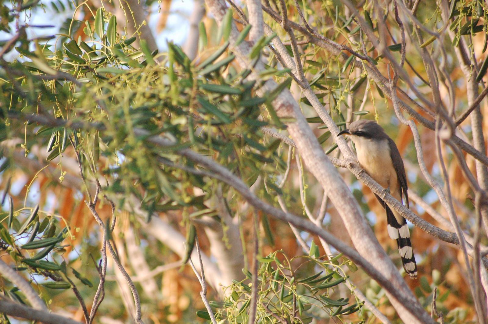 Mangrove Cuckoo Photo by Ted Goshulak