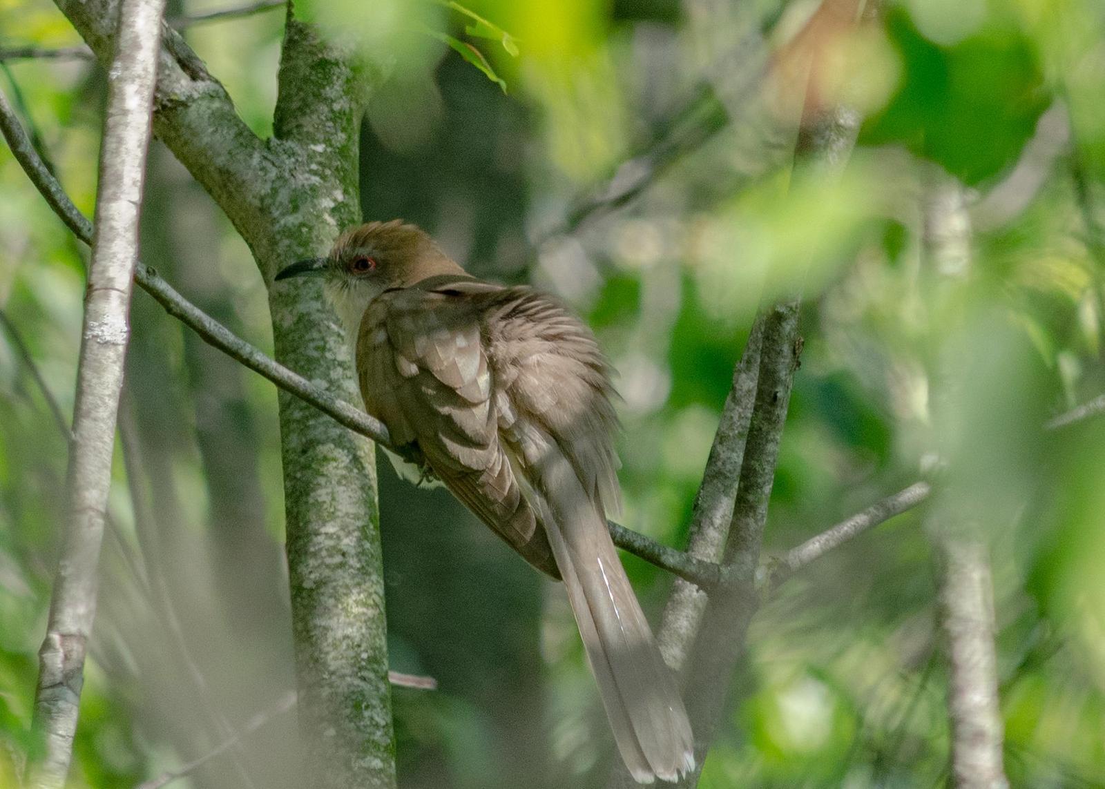 Black-billed Cuckoo Photo by Keshava Mysore