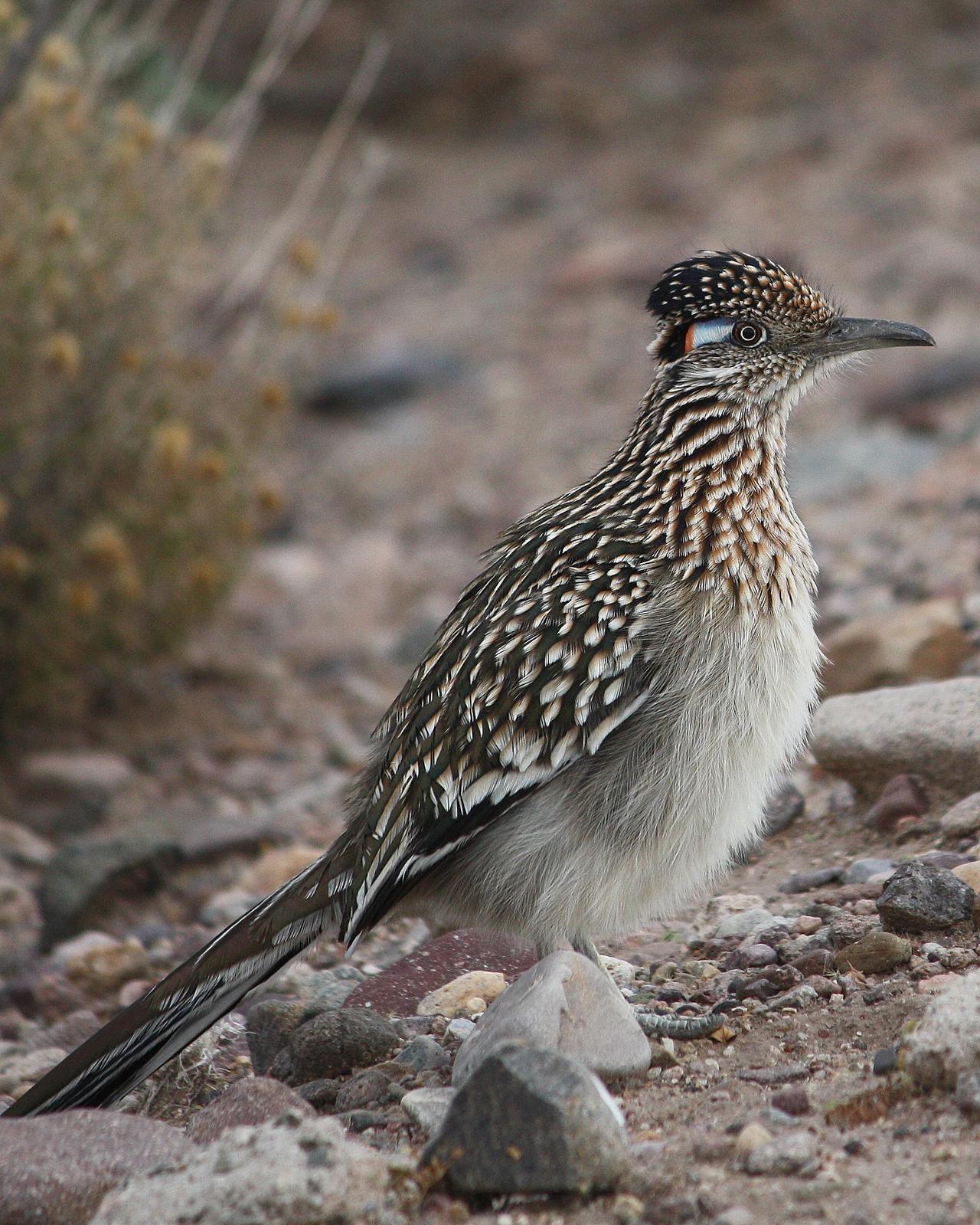 Greater Roadrunner Photo by Andrew Core