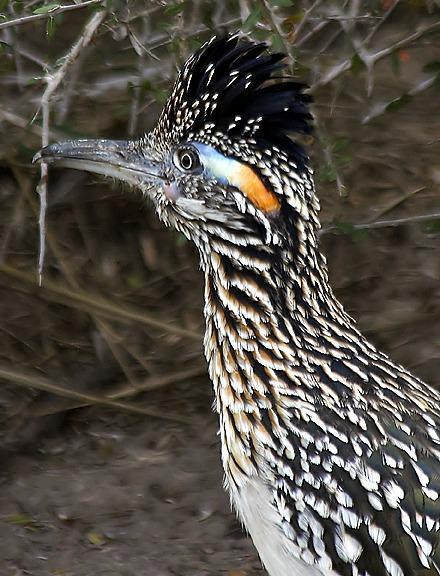 Greater Roadrunner Photo by Dan Tallman