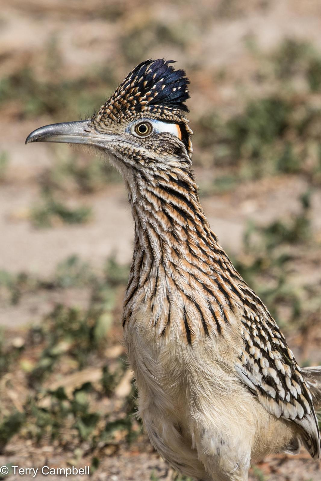 Greater Roadrunner Photo by Terry Campbell