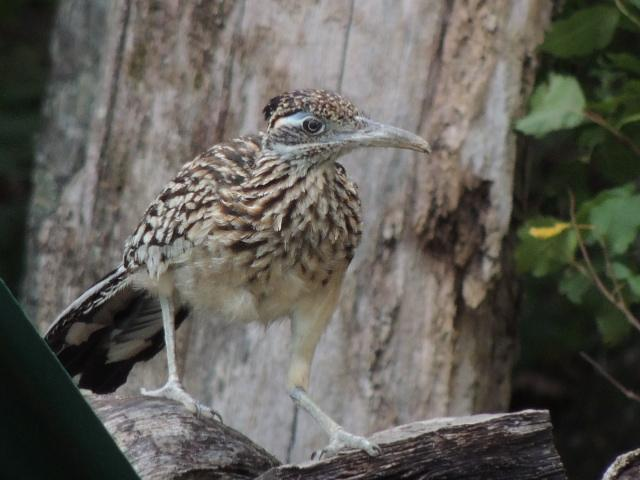 Greater Roadrunner Photo by Tony Heindel