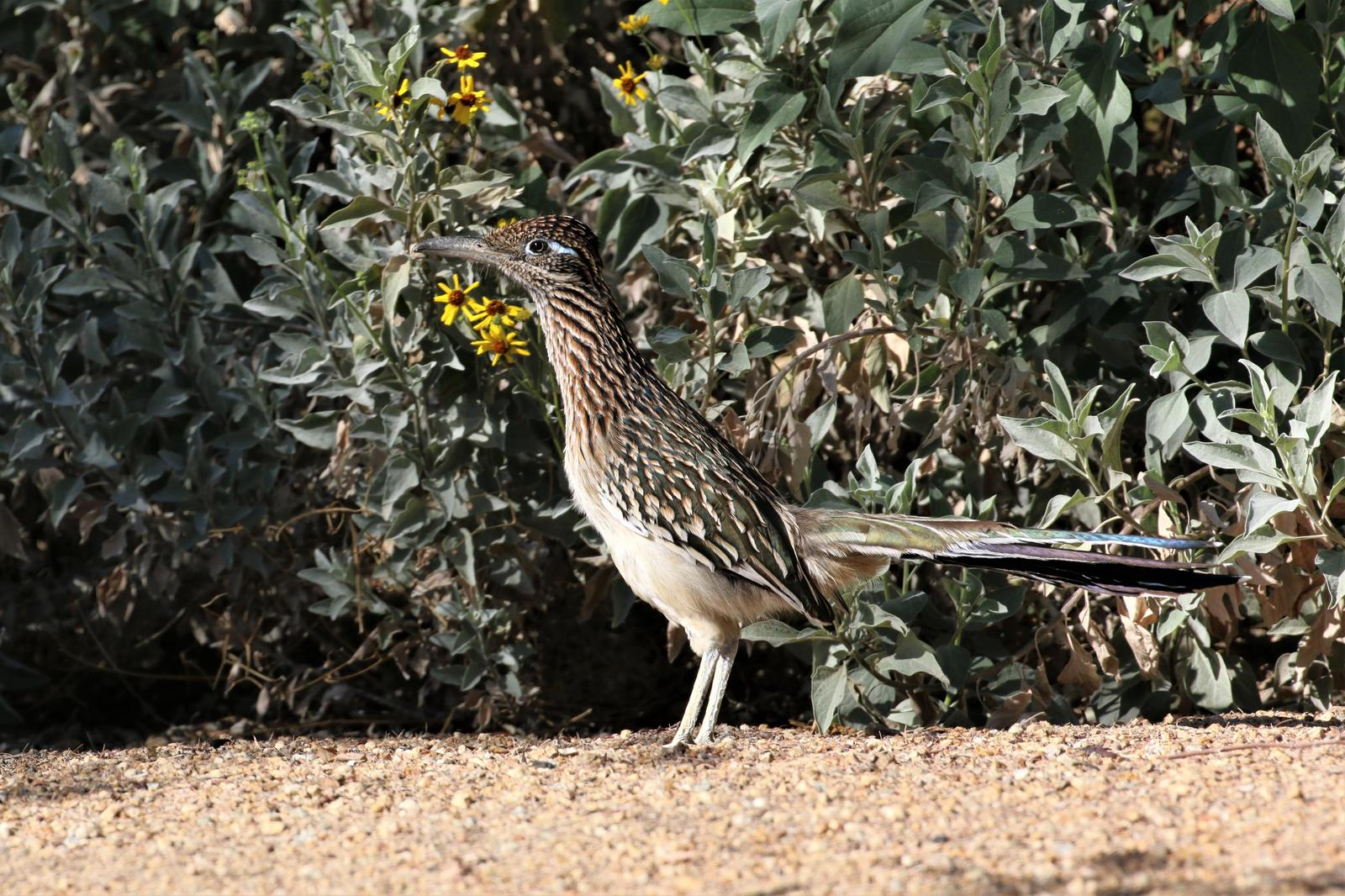 Greater Roadrunner Photo by Richard Jeffers