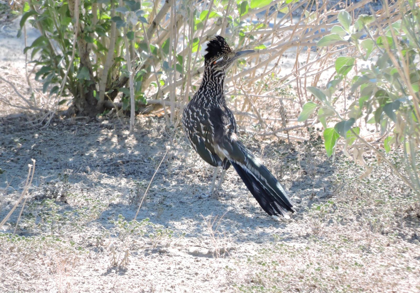 Greater Roadrunner Photo by Yvonne Burch-Hartley