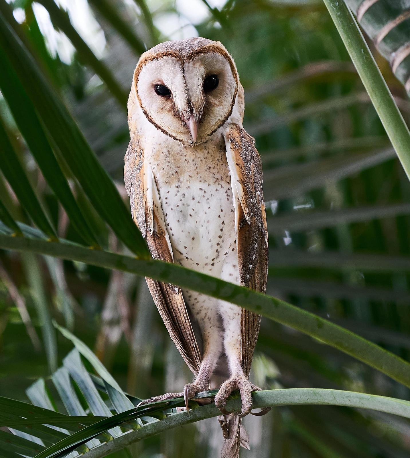 Barn Owl Photo by Steven Cheong