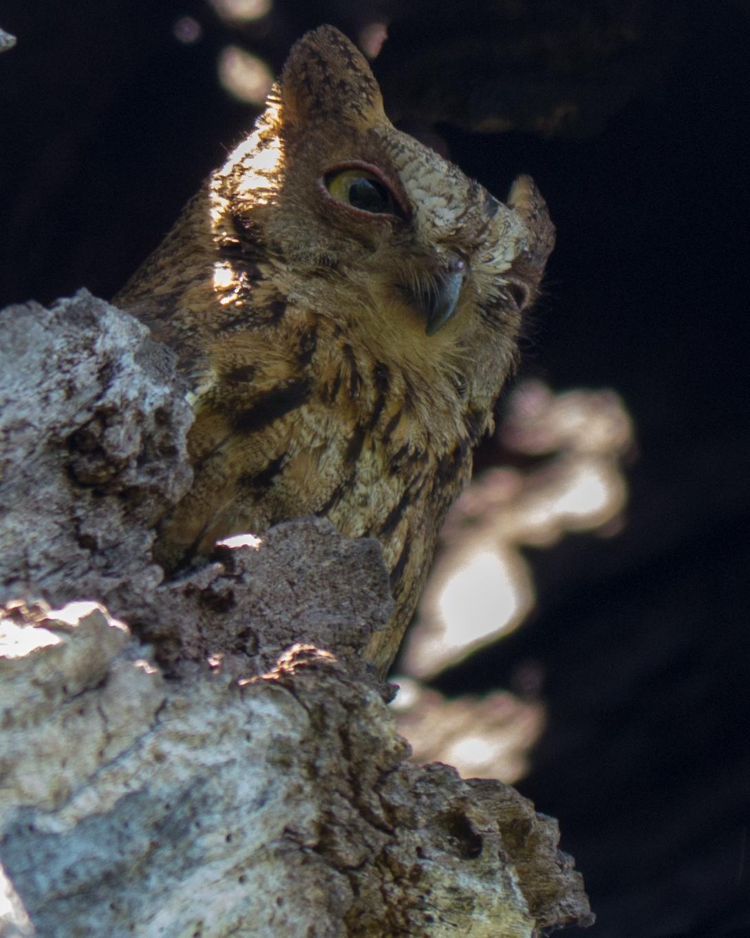 Torotoroka Scops-Owl Photo by Randy Siebert