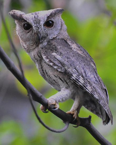 Oriental Scops-Owl Photo by Deepak Nashine