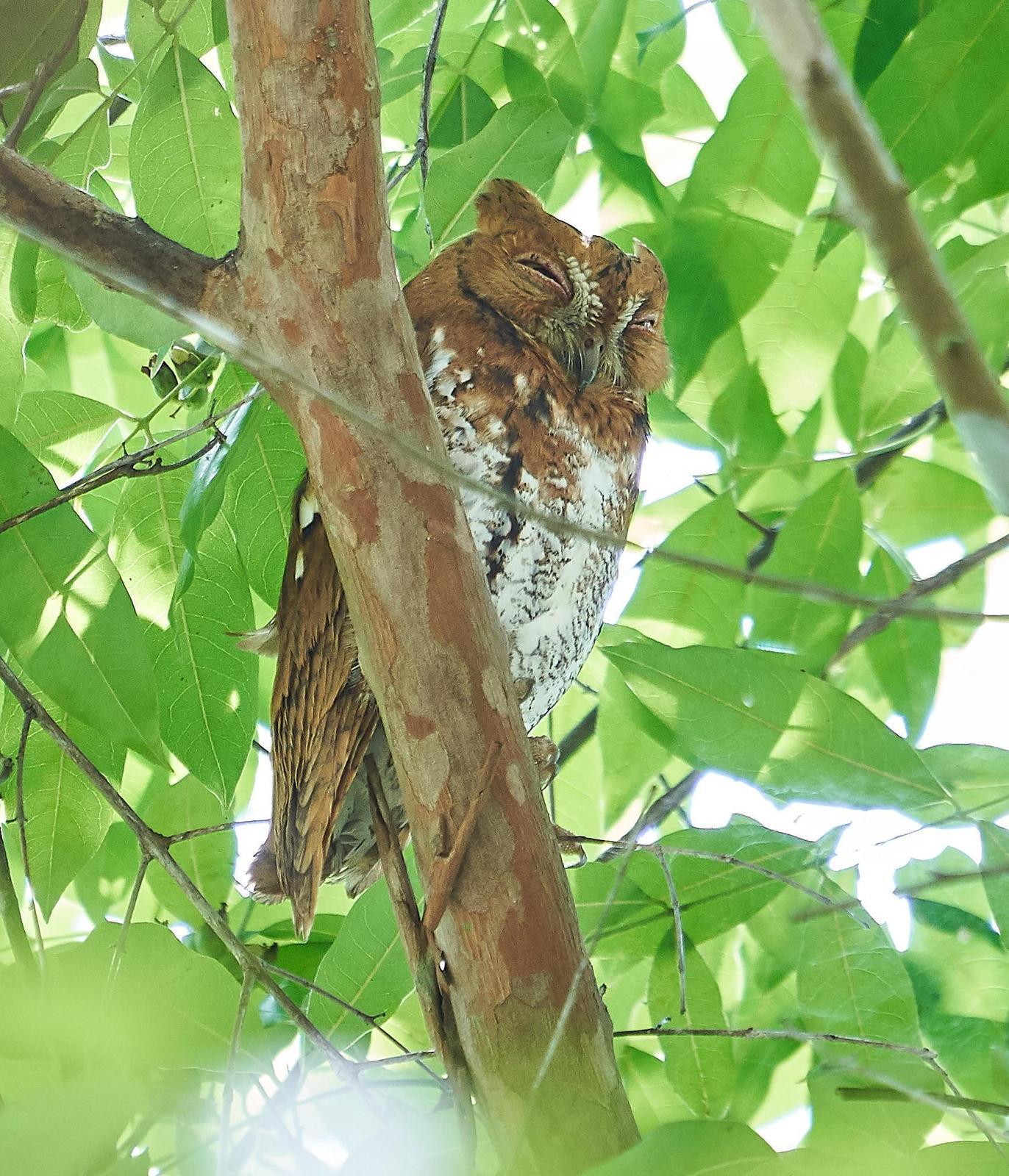 Oriental Scops-Owl Photo by Steven Cheong