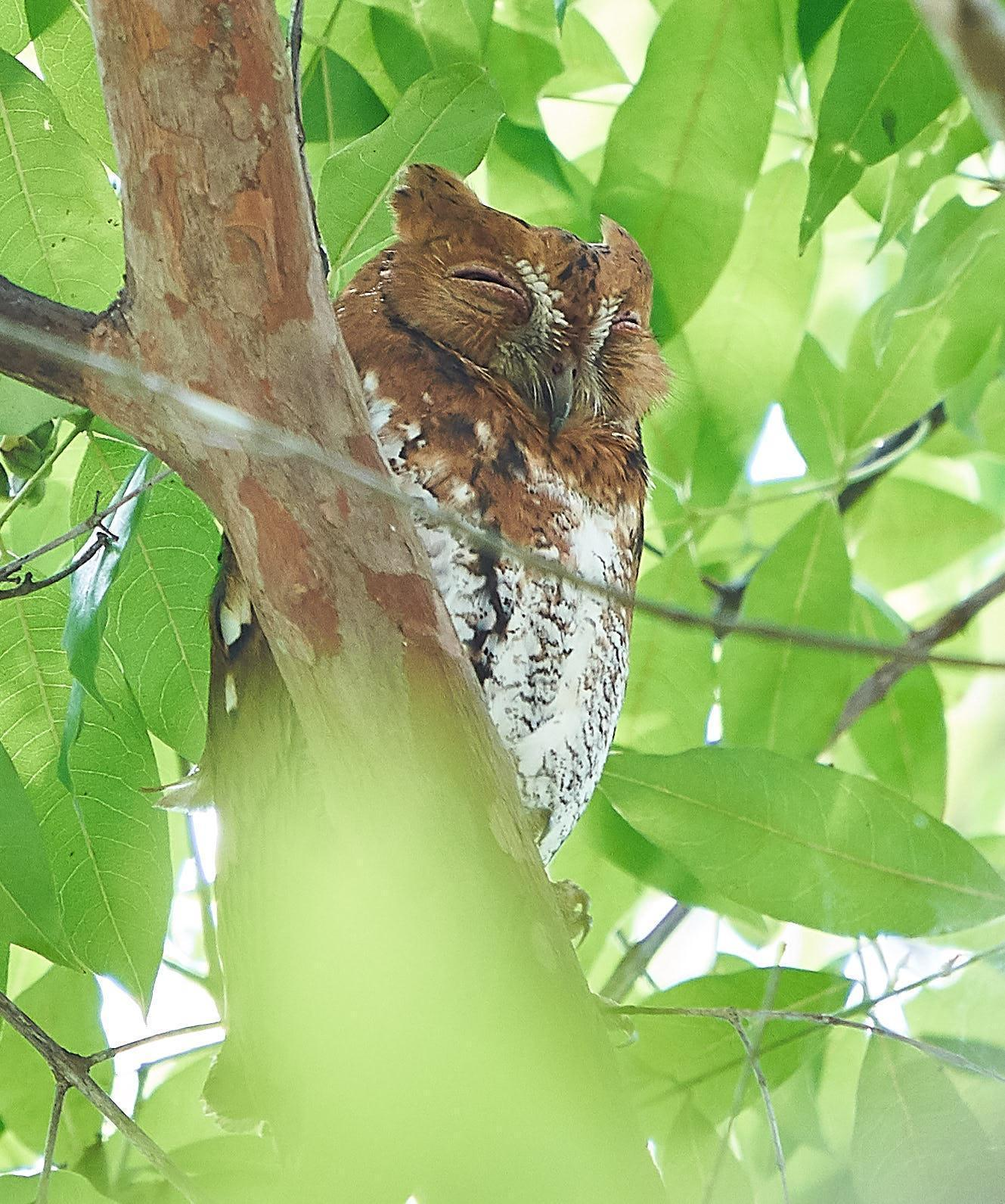 Oriental Scops-Owl Photo by Steven Cheong