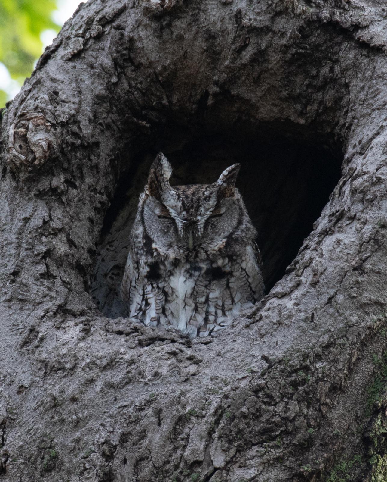 Eastern Screech-Owl Photo by Hume Vance