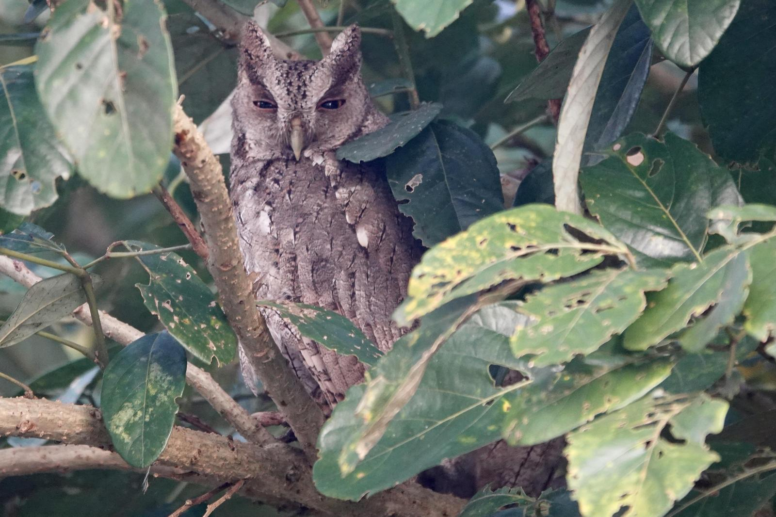 Pacific Screech-Owl Photo by Bonnie Clarfield-Bylin