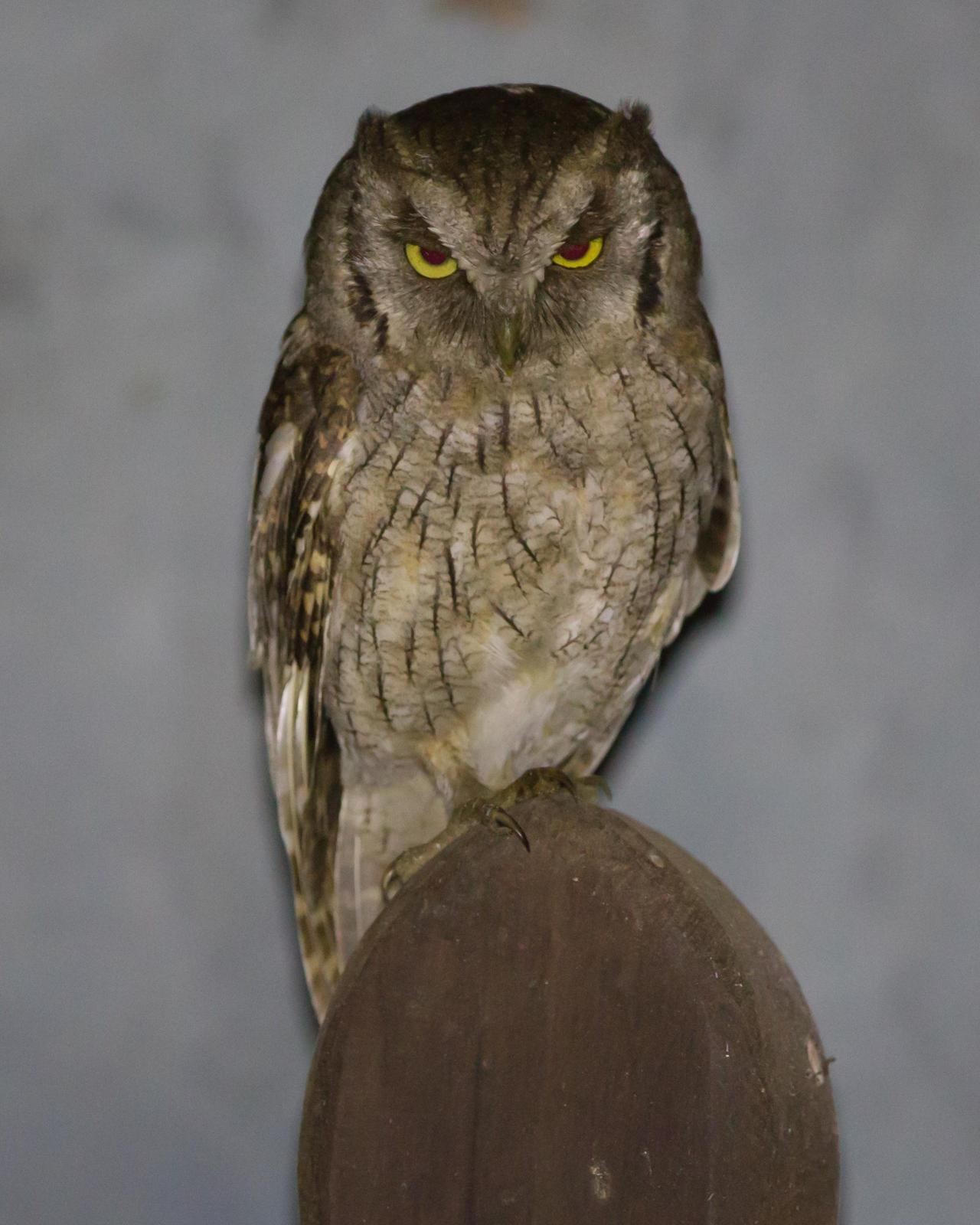Tropical Screech-Owl Photo by Kevin Berkoff