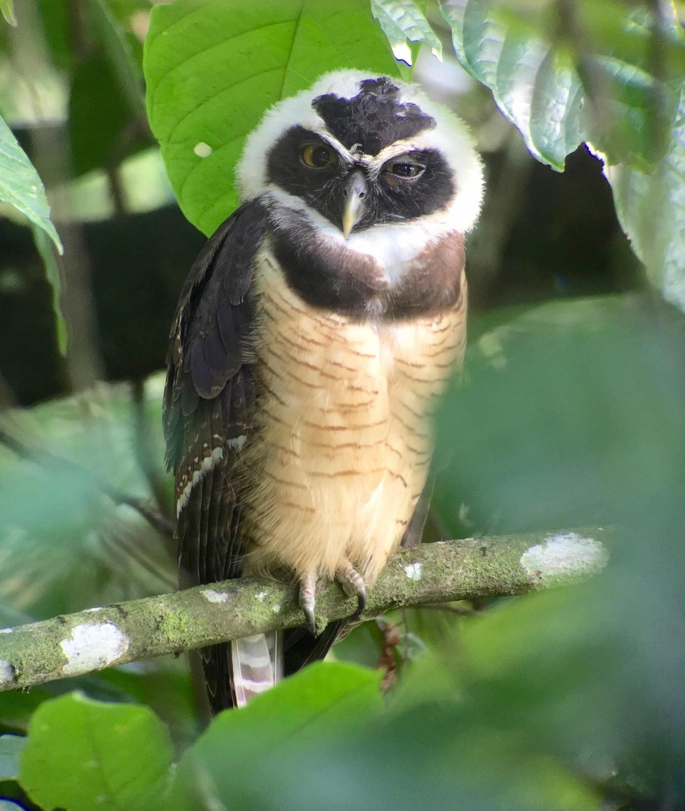 Spectacled Owl Photo by Drew Weber