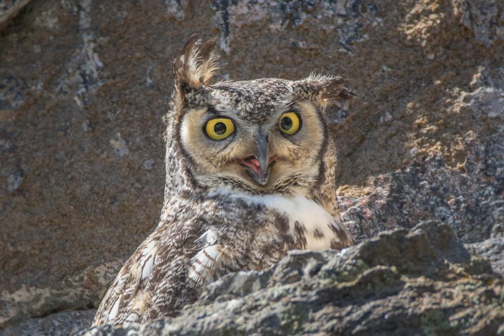 Great Horned Owl Photo by Amanda Fulda