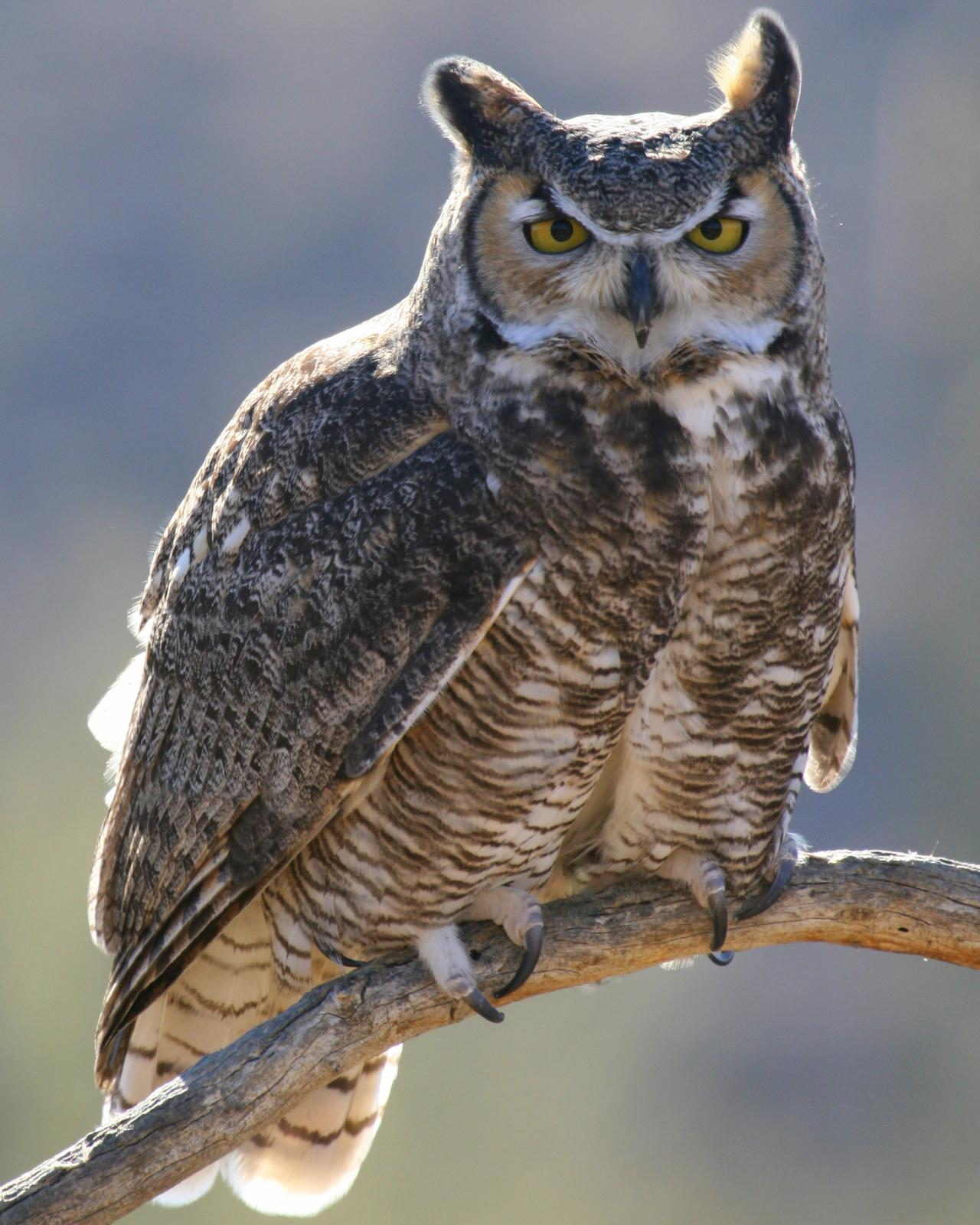 Great Horned Owl Photo by Nathan Renn