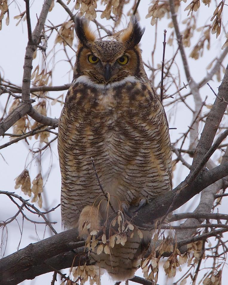 Great Horned Owl Photo by Gerald Hoekstra