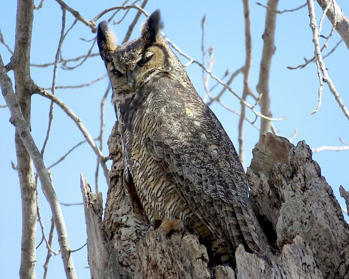 Great Horned Owl Photo by Lucy Luxenburg