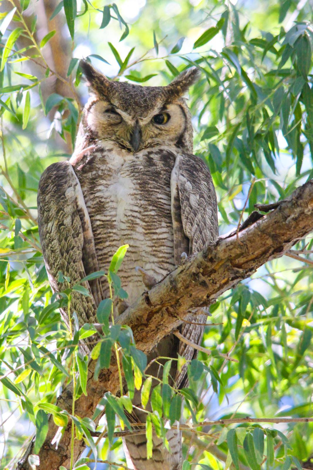 Great Horned Owl Photo by Tom Ford-Hutchinson