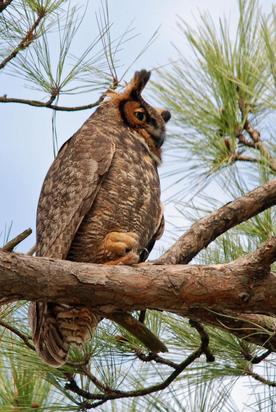 Great Horned Owl Photo by Carol Foil