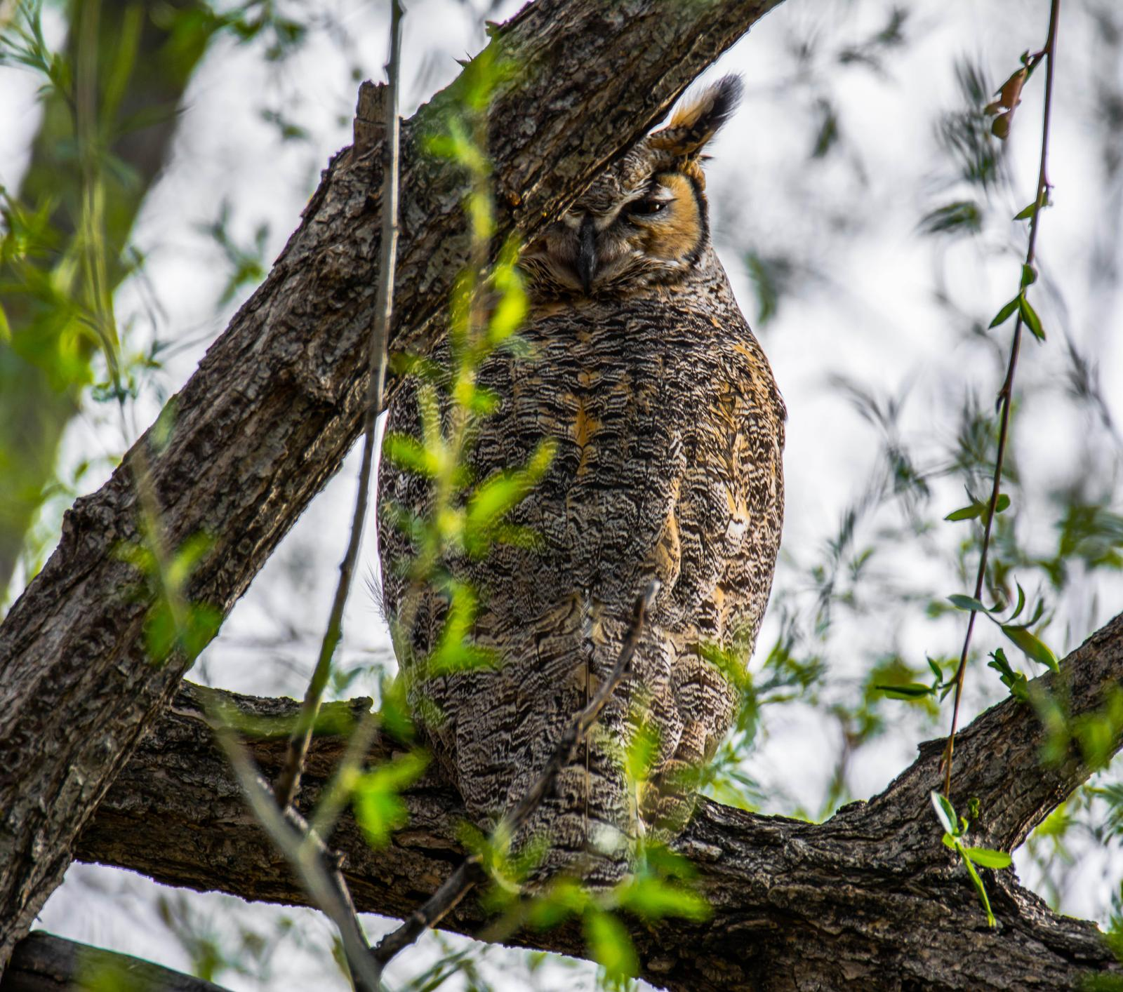 Great Horned Owl Photo by Karen Prisby