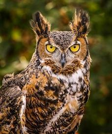 Great Horned Owl Photo by Theodore W.  Hatem