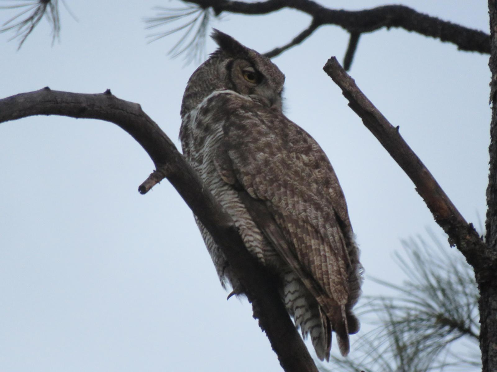 Great Horned Owl Photo by Nolan Keyes