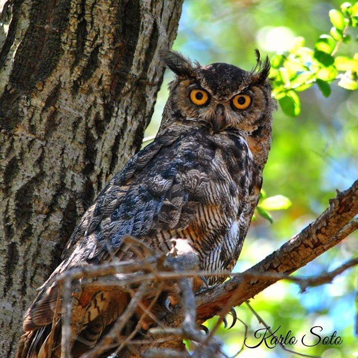 Great Horned Owl Photo by Karlo Antonio Soto Huerta