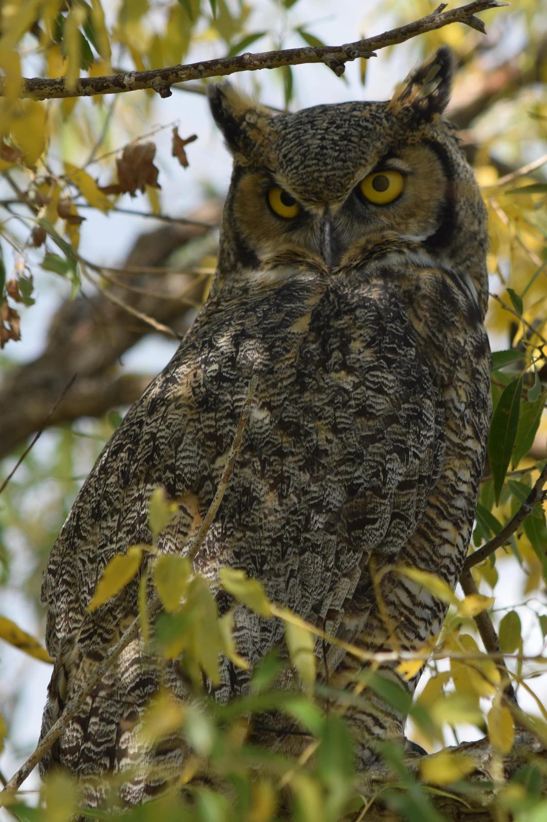 Great Horned Owl Photo by Ken Shawcroft